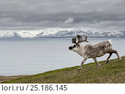 Купить «Reindeer (Rangifer tarandus platyrhynchus) walking with fjord and mountain landscape,  Svalbard, Norway.  July.», фото № 25186145, снято 23 февраля 2020 г. (c) Nature Picture Library / Фотобанк Лори
