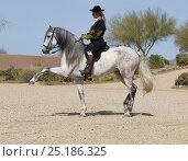 Купить «Horse rider Manuel Trigo in traditional Spanish costume performing dressage riding, gray Andalusian Mare, Phoenix, Arizona, USA.  February 2012. Model Released», фото № 25186325, снято 19 февраля 2018 г. (c) Nature Picture Library / Фотобанк Лори