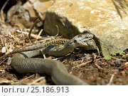 Smooth snake (Coronella austriaca) feeding on a wall lizard. West France, April. Стоковое фото, фотограф Daniel Heuclin / Nature Picture Library / Фотобанк Лори