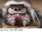 Regal Jumping Spider (Phidippus regius) female. Captive, originating... Стоковое фото, фотограф Alex Hyde / Nature Picture Library / Фотобанк Лори