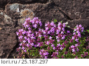 Wild Thyme (Thymus serpyllum) Isle of Mull, Scotland, UK. June. Стоковое фото, фотограф Alex Hyde / Nature Picture Library / Фотобанк Лори