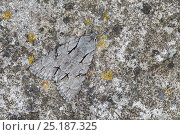 Купить «Grey Dagger (Acronicta psi) moth camouflaged on rock, Peak District National Park, Derbyshire, UK. June.», фото № 25187325, снято 22 июля 2018 г. (c) Nature Picture Library / Фотобанк Лори