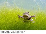 Купить «Pair of Common toads (Bufo bufo) in amplexus underwater, Belgium, March.», фото № 25188457, снято 25 апреля 2019 г. (c) Nature Picture Library / Фотобанк Лори