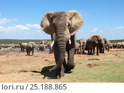 African elephant (Loxodonta africana) herd gathering at Hapoor waterhole, Addo Elephant national park, South Africa, February. Стоковое фото, фотограф Ann & Steve Toon / Nature Picture Library / Фотобанк Лори