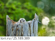 Great Grey Owl (Strix nebulosa) chick in  nest , Sweden. Стоковое фото, фотограф Marten Dalfors / Nature Picture Library / Фотобанк Лори
