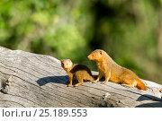Купить «Dwarf mongooses (Helogale parvula)  Masai Mara Game Reserve, Kenya», фото № 25189553, снято 4 августа 2020 г. (c) Nature Picture Library / Фотобанк Лори