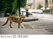 Urban Red fox (Vulpes vulpes), adult male (dog). Bristol, UK. August. Стоковое фото, фотограф Sam Hobson / Nature Picture Library / Фотобанк Лори