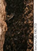 Купить «Antillean fruit-eating bats (Brachyphylla cavernarum) at communal cave roost. Soufrière, Saint Lucia.», фото № 25190713, снято 17 июня 2019 г. (c) Nature Picture Library / Фотобанк Лори