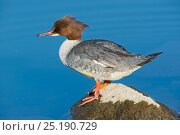 Купить «Goosander (Mergus merganser) female, Lake Geneva, Switzerland, March.», фото № 25190729, снято 27 мая 2020 г. (c) Nature Picture Library / Фотобанк Лори