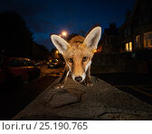 Young urban Red fox (Vulpes vulpes). Bristol, UK. August. Стоковое фото, фотограф Sam Hobson / Nature Picture Library / Фотобанк Лори