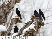 Купить «Alpine Chough (Pyrrhocorax graculus) group perched on snag, Bernese Alps, Switzerland.», фото № 25190789, снято 23 мая 2018 г. (c) Nature Picture Library / Фотобанк Лори