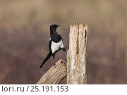 Купить «Magpie (Pica pica) perched on fence post, Cremlingen, Lower Saxony, Germany, March.», фото № 25191153, снято 18 октября 2019 г. (c) Nature Picture Library / Фотобанк Лори