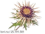 Купить «Common Carline Thistle (Carlina vulgaris) in flower, Mount Terminillo, near Terni, Italy. September.», фото № 25191581, снято 24 мая 2018 г. (c) Nature Picture Library / Фотобанк Лори