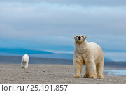 Купить «Polar bear (Ursus maritimus) walking along beach with another behind, Wrangel Island, Far Eastern Russia, September.», фото № 25191857, снято 26 мая 2019 г. (c) Nature Picture Library / Фотобанк Лори