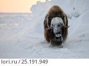Купить «Musk ox (Ovibos moschatus) portrait, Wrangel Island, Far Eastern Russia.», фото № 25191949, снято 17 октября 2018 г. (c) Nature Picture Library / Фотобанк Лори
