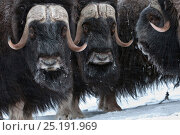 Купить «Musk ox (Ovibos moschatus) herd, Wrangel Island, Far Eastern Russia, March.», фото № 25191969, снято 23 октября 2018 г. (c) Nature Picture Library / Фотобанк Лори