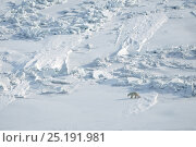 Купить «Polar bear (Ursus maritimus) mother with cub walking across ice field, Wrangel Island, Far Eastern Russia, March.», фото № 25191981, снято 23 января 2019 г. (c) Nature Picture Library / Фотобанк Лори