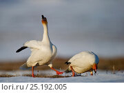 Купить «Snow geese (Chen caerulescens caerulescens) pair in courtship display, Wrangel Island, Far Eastern Russia, May.», фото № 25192005, снято 17 января 2019 г. (c) Nature Picture Library / Фотобанк Лори