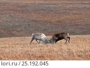 Купить «Reindeer (Rangifer tarandus) rutting in habitat, Wrangel Island, Far Eastern Russia. NB Reproduction up to A4. September 2010.», фото № 25192045, снято 16 июля 2019 г. (c) Nature Picture Library / Фотобанк Лори