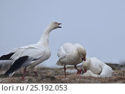 Купить «Snow geese (Chen caerulescens caerulescens) aggresive male biting neck of another male mating with female, Wrangel Island, Far Eastern Russia, June.», фото № 25192053, снято 22 октября 2018 г. (c) Nature Picture Library / Фотобанк Лори