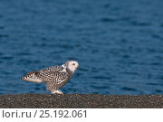 Купить «Snowy owl (Bubo scandiacus) on ground at coast, Wrangel Island, Far Eastern Russia, August.», фото № 25192061, снято 23 октября 2019 г. (c) Nature Picture Library / Фотобанк Лори