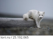 Купить «Arctic fox (Vulpes lagopus) in winter fur, resting, Wrangel Island, Far Eastern Russia, September.», фото № 25192065, снято 16 июня 2019 г. (c) Nature Picture Library / Фотобанк Лори