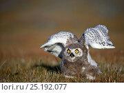 Купить «Snowy owl (Bubo scandiacus) fledgling, Wrangel Island, Far Eastern Russia, August.», фото № 25192077, снято 21 октября 2018 г. (c) Nature Picture Library / Фотобанк Лори