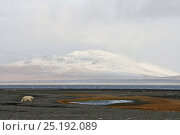 Купить «Polar bear (Ursus maritimus) in habitat, Wrangel Island, Far Eastern Russia. September 2010.», фото № 25192089, снято 16 октября 2018 г. (c) Nature Picture Library / Фотобанк Лори