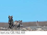 Купить «Arctic foxes (Vulpes lagopus) with lemming prey, Wrangel Island, Far Eastern Russia, August. Note soft focus image.», фото № 25192101, снято 12 ноября 2019 г. (c) Nature Picture Library / Фотобанк Лори