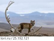 Купить «Arctic fox (Vulpes lagopus) standing with Reindeer skull, Wrangel Island, Far Eastern Russia, August.», фото № 25192121, снято 22 апреля 2019 г. (c) Nature Picture Library / Фотобанк Лори