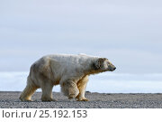 Купить «Polar bear (Ursus maritimus) profile, Wrangel Island, Far Eastern Russia, September.», фото № 25192153, снято 23 января 2019 г. (c) Nature Picture Library / Фотобанк Лори