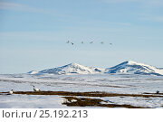 Snow geese (Chen caerulescens caerulescens) in flight in front of mountain, Wrangel Island, Far Eastern Russia, May. Стоковое фото, фотограф Sergey Gorshkov / Nature Picture Library / Фотобанк Лори