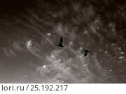 Купить «Black and white photograph of Snow geese (Chen caerulescens) Wrangel Island, Far Eastern Russia, May.», фото № 25192217, снято 16 декабря 2018 г. (c) Nature Picture Library / Фотобанк Лори