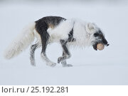 Купить «Arctic fox (Vulpes lagopus) with Snow goose egg in mouth, mid moult from winter to summer fur, Wrangel Island, Far Eastern Russia, June.», фото № 25192281, снято 16 июня 2019 г. (c) Nature Picture Library / Фотобанк Лори