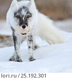 Купить «Arctic fox (Vulpes lagopus) with Snow goose egg in mouth, mid moult from winter to summer fur, Wrangel Island, Far Eastern Russia, June.», фото № 25192301, снято 25 мая 2019 г. (c) Nature Picture Library / Фотобанк Лори