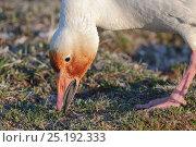 Купить «Snow goose (Chen caerulescens caerulescens) rusty orange colour on face from iron rich soil, Wrangel Island, Far Eastern Russia, June.», фото № 25192333, снято 18 января 2020 г. (c) Nature Picture Library / Фотобанк Лори