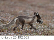 Купить «Arctic fox (Vulpes lagopus) in summer coat with lemmings in mouth, Wrangel Island, Far Eastern Russia, August.», фото № 25192565, снято 12 ноября 2019 г. (c) Nature Picture Library / Фотобанк Лори