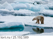 Купить «Polar bear (Ursus maritimus) on pack ice off the coast of Wrangel Island, Far Eastern Russia, September.», фото № 25192589, снято 16 октября 2018 г. (c) Nature Picture Library / Фотобанк Лори