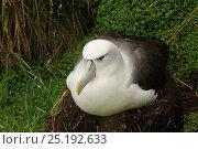 Купить «White-capped albatross (Thalassarche steadi) on nest, Auckland Islands, New Zealand, February.», фото № 25192633, снято 18 июня 2019 г. (c) Nature Picture Library / Фотобанк Лори