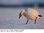 Купить «Snow geese (Chen caerulescens caerulescens) foraging, Wrangel Island, Far Eastern Russia, May.», фото № 25192697, снято 23 октября 2019 г. (c) Nature Picture Library / Фотобанк Лори