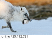 Купить «Arctic fox (Vulpes lagopus) with Snow goose egg in mouth, mid moult from winter to summer fur, Wrangel Island, Far Eastern Russia.», фото № 25192721, снято 27 мая 2019 г. (c) Nature Picture Library / Фотобанк Лори