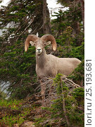 Bighorn Sheep (Ovis canadensis), Glacier National Park, Montana, Rocky Mountains, July. Стоковое фото, фотограф Thomas Lazar / Nature Picture Library / Фотобанк Лори