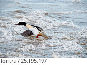 Купить «Goosander (Mergus merganser) male taking off, Dumfries, Scotland, UK, December.», фото № 25195197, снято 27 мая 2020 г. (c) Nature Picture Library / Фотобанк Лори