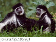 Купить «Eastern Black-and-white Colobus (Colobus guereza) monkeys play fighting. Kakamega Forest National Reserve, Western Province, Kenya», фото № 25195901, снято 14 ноября 2019 г. (c) Nature Picture Library / Фотобанк Лори