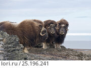 Купить «Musk ox (Ovibos moschatus) group of three, Wrangel Island, Far Eastern Russia, September.», фото № 25196241, снято 15 октября 2019 г. (c) Nature Picture Library / Фотобанк Лори