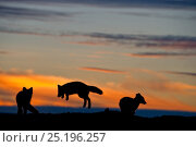 Купить «Arctic foxes (Vulpes lagopus) playing, silhouetted at sunset, Wrangel Island, Far Eastern Russia. August 2010.», фото № 25196257, снято 18 апреля 2019 г. (c) Nature Picture Library / Фотобанк Лори