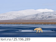 Купить «Polar bear (Ursus maritimus) walking along coast of Wrangel Island, Far Eastern Russia, October.», фото № 25196289, снято 26 декабря 2019 г. (c) Nature Picture Library / Фотобанк Лори