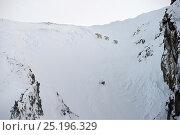 Купить «Polar bear (Ursus maritimus) mother and cubs walking on snowy slope, Wrangel Island, Far Eastern Russia, March.», фото № 25196329, снято 13 декабря 2019 г. (c) Nature Picture Library / Фотобанк Лори