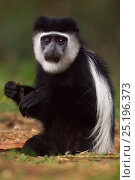 Купить «Eastern Black-and-white Colobus (Colobus guereza) juvenile sitting in a hole feeding on soil for salts and minerals. Kakamega Forest National Reserve, Western Province, Kenya», фото № 25196373, снято 21 января 2020 г. (c) Nature Picture Library / Фотобанк Лори
