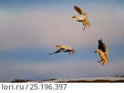 Купить «Snow geese (Chen caerulescens caerulescens) in flight, Wrangel Island, Far Eastern Russia, June.», фото № 25196397, снято 23 октября 2019 г. (c) Nature Picture Library / Фотобанк Лори